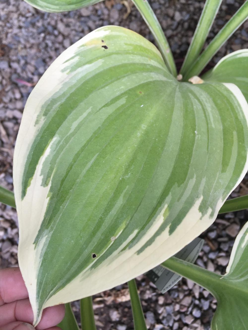 Photo of Hosta 'Victory' uploaded by SpringGreenThumb