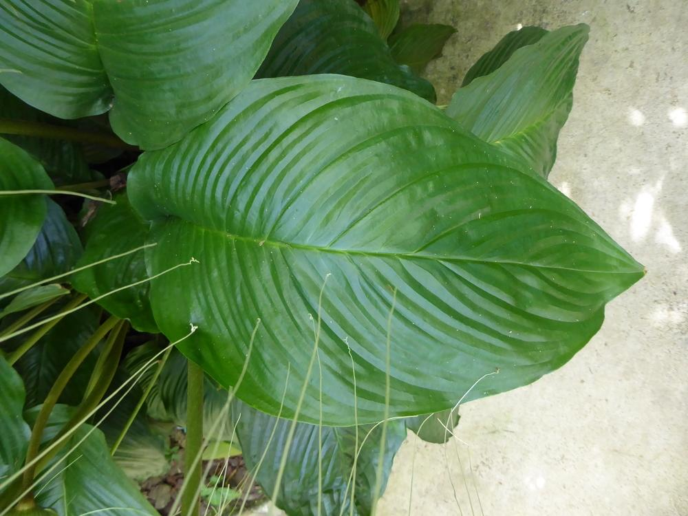 Photo of the leaves of white bat flower tacca integrifolia posted photo of white bat flower tacca integrifolia uploaded by mellielong mightylinksfo