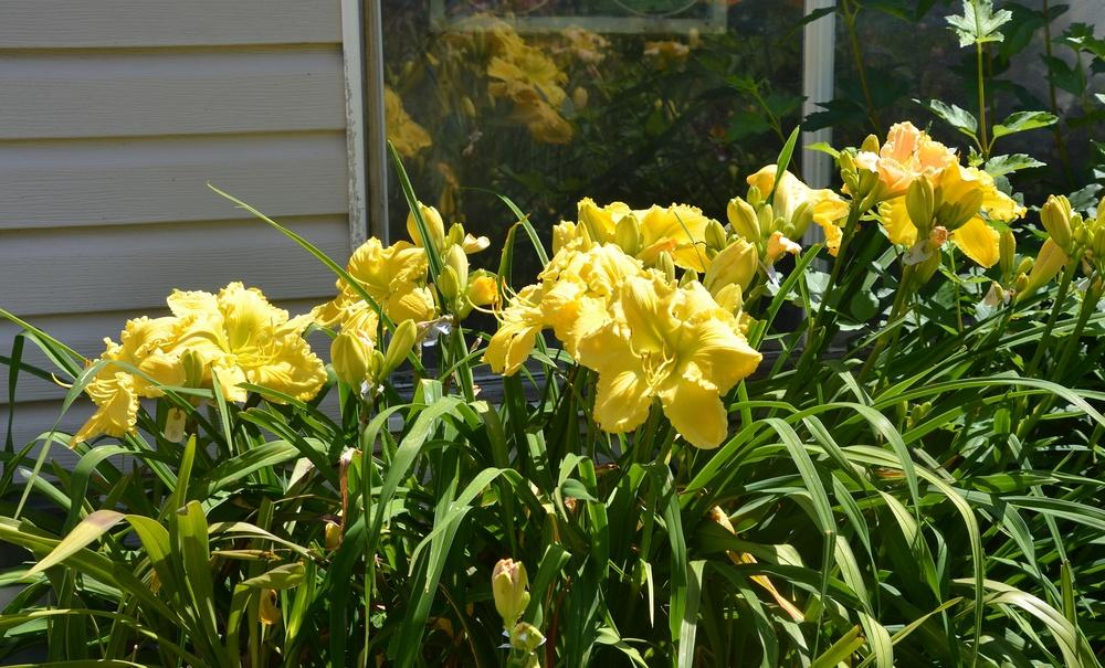 Photo of Daylily (Hemerocallis 'Butter Cream') uploaded by JenniferPatterson