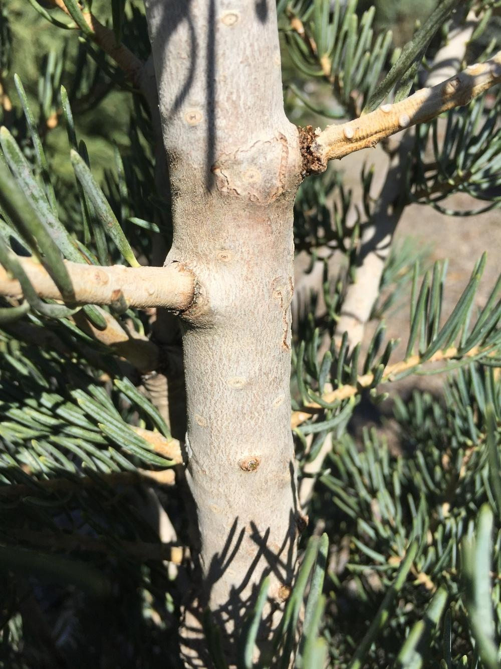 Photo Of The Stem Scape Stalk Or Bark Of Abies Concolor
