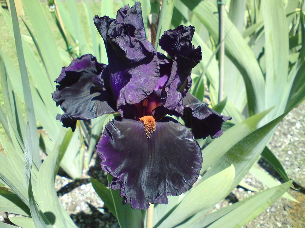 Photo of Tall Bearded Iris (Iris 'Night Game') uploaded by LynDC