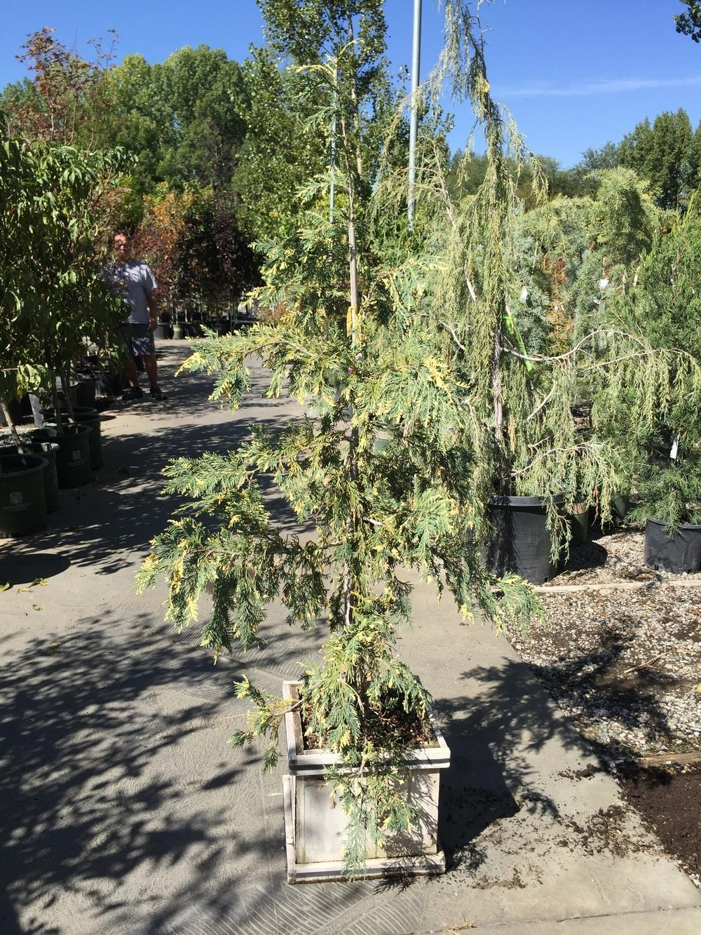 Photo of Nootka Cypress (Xanthocyparis nootkatensis 'Sparkling Arrow') uploaded by SpringGreenThumb