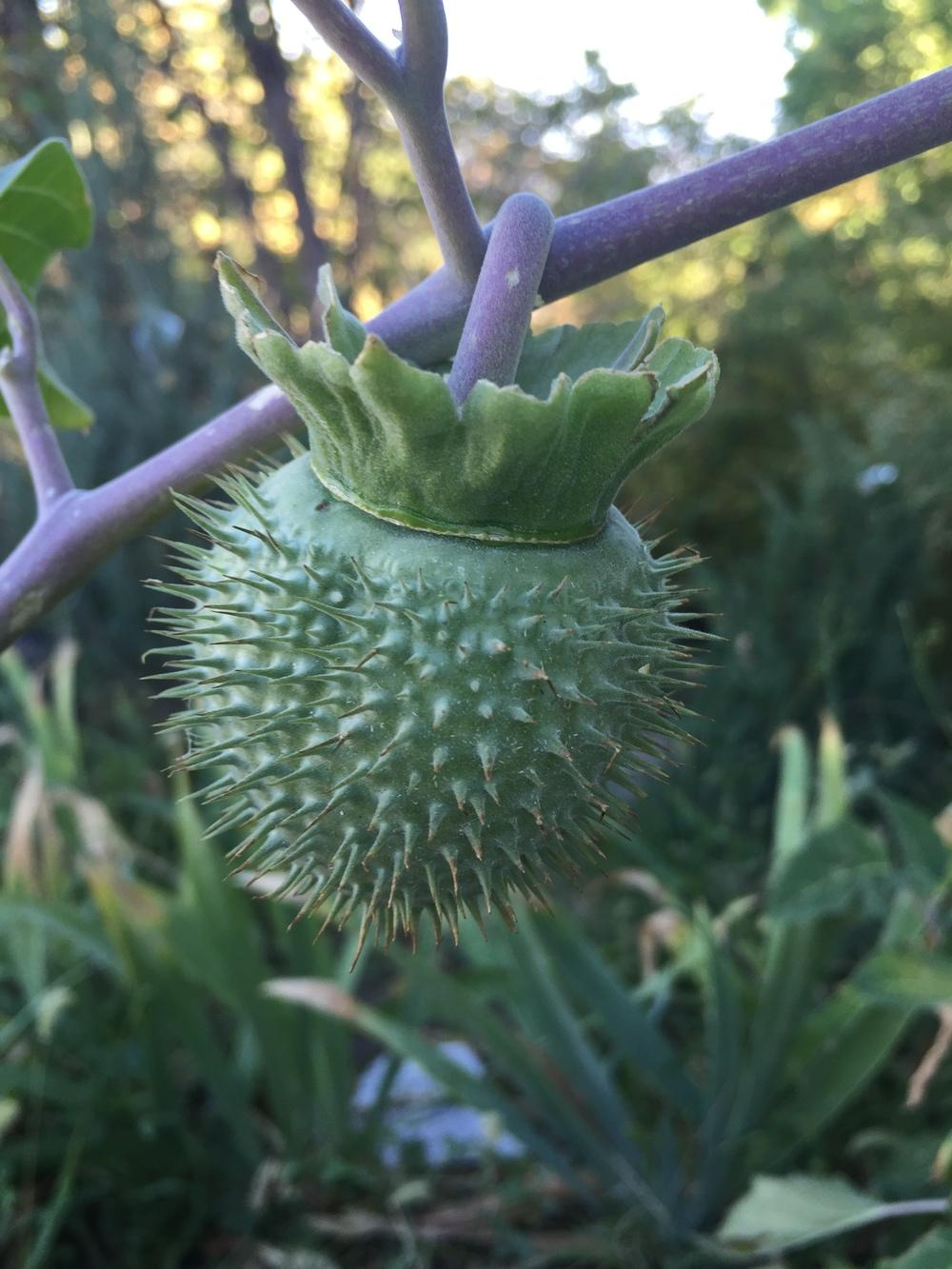 Photo of Southwestern Thorn Apple (Datura wrightii) uploaded by SpringGreenThumb