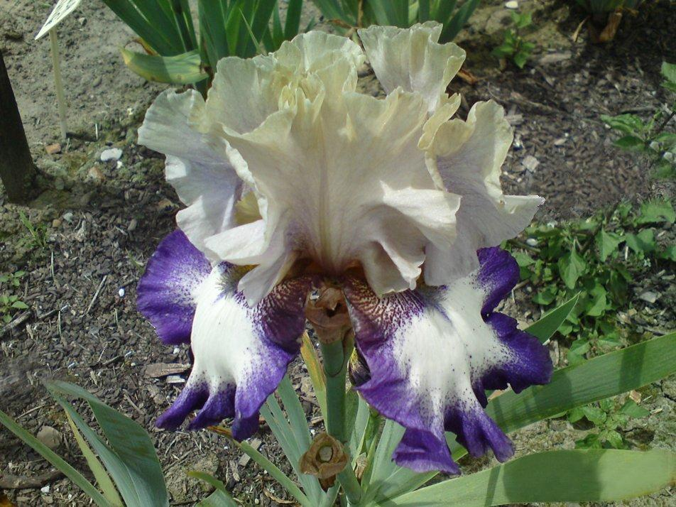 Photo of Tall Bearded Iris (Iris 'Surfie Girl') uploaded by LynDC