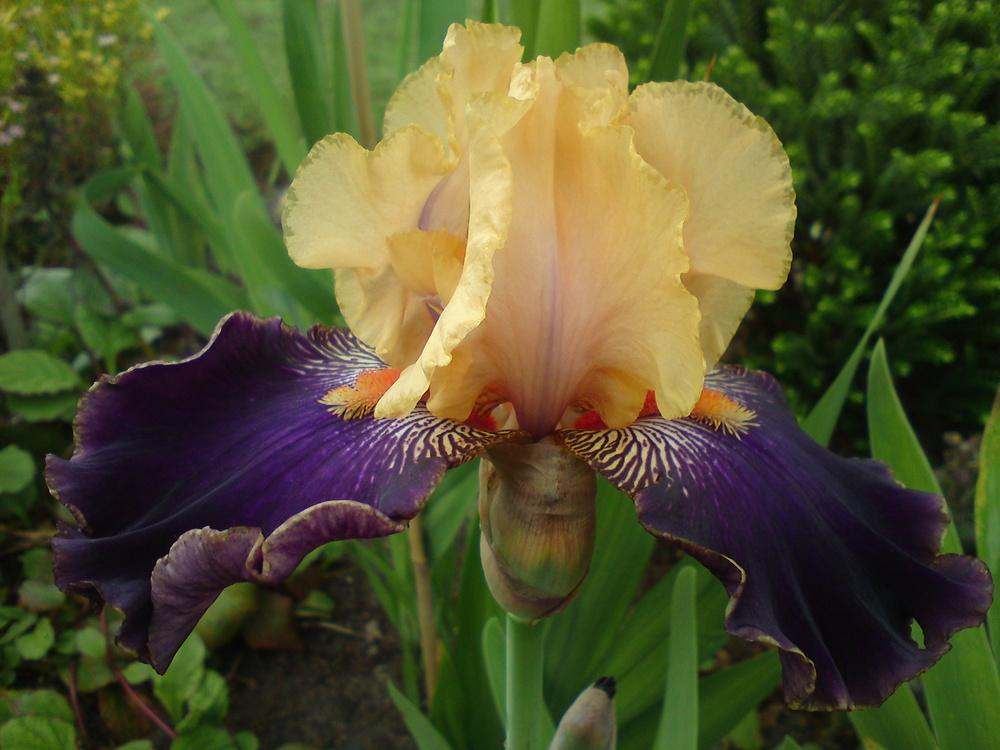 Photo of Tall Bearded Iris (Iris 'Devil's Riot') uploaded by LynDC