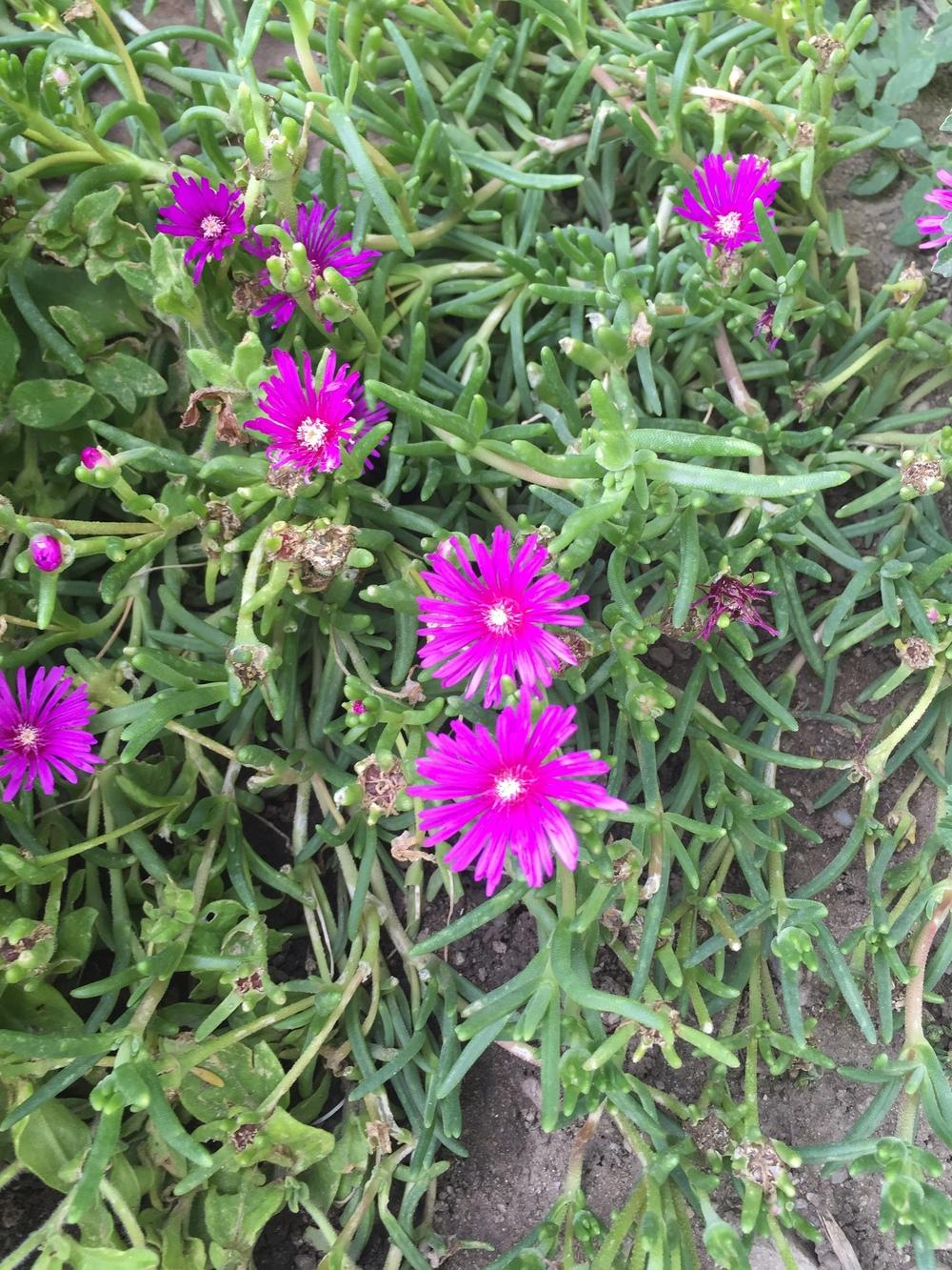 Photo of Drakensberg Ice Plant (Delosperma lavisiae) uploaded by SpringGreenThumb