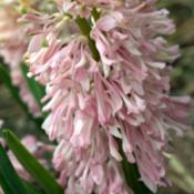 Location: PennsylvaniaDate: April 2009Hyacinthus orientalis 'Raphael'