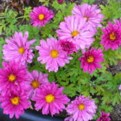 Location: Nora's Garden - Castlegar, B.C.Date: 2016-07-04 7:25 pm. A lovely two-tone effect, going from pink to