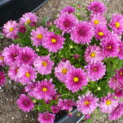 Location: Nora's Garden - Castlegar, B.C.Date: 2015-07-28 11:50 am.  A long blooming variety - - - from June int