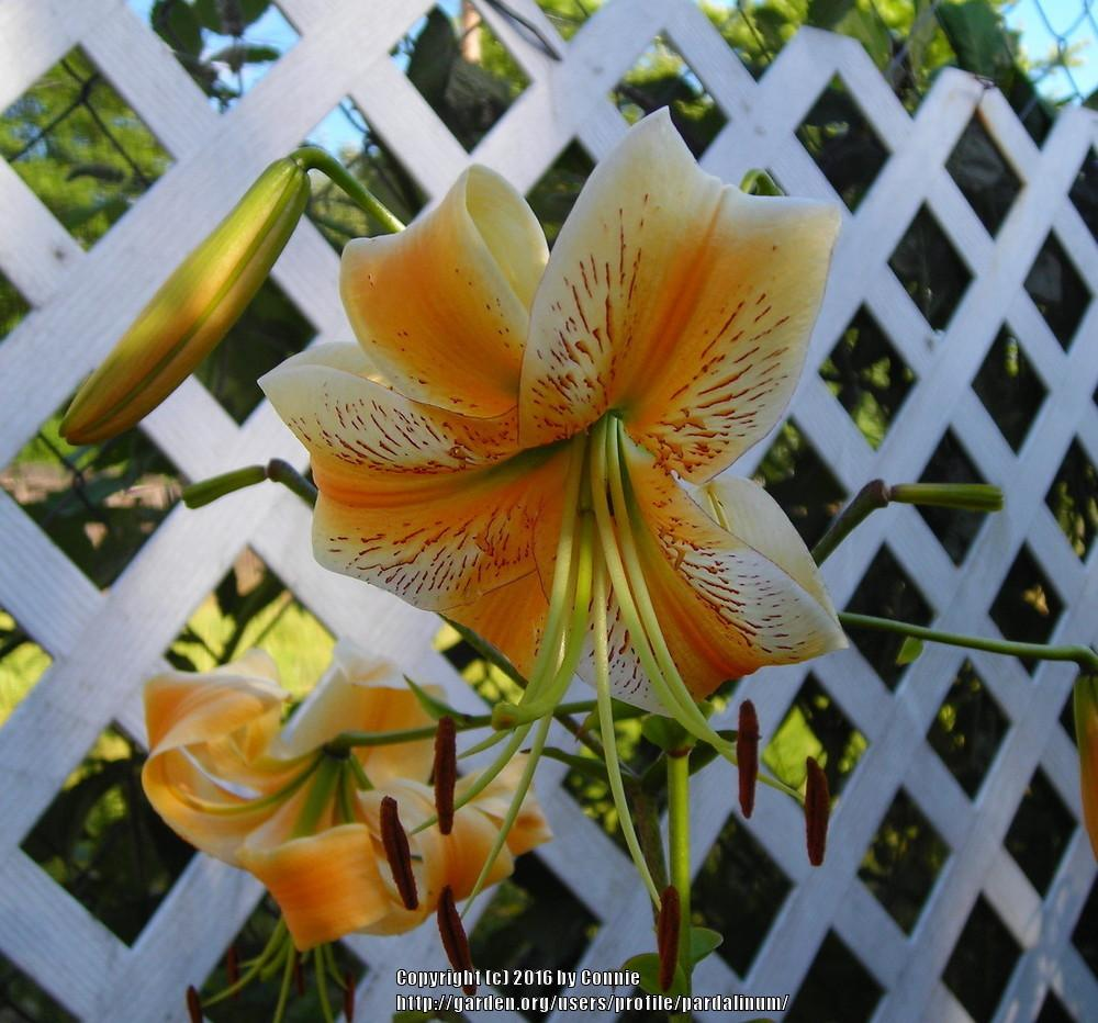 Photo of Lily (Lilium 'LF-1') uploaded by pardalinum