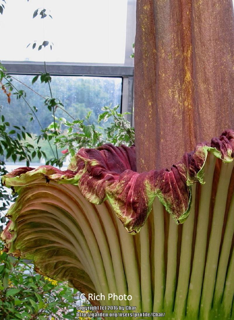 Photo of Titan Arum (Amorphophallus titanum) uploaded by Char