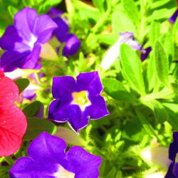 Photo of Milliflora Spreading/Trailing Petunia (Petunia Supertunia® Morning Glory Charm®)