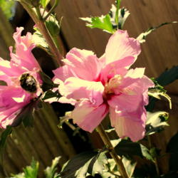 Photo of Rose Of Sharon (Hibiscus syriacus)