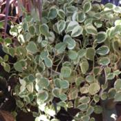 Location: Central FloridaDate: 2016-09-27Peperomia Scandens 'Variegata'