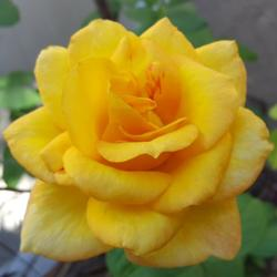 Photo of Rose (Rosa 'Gold Medal')