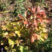Location: My garden, Pequea, PA 17565Date: 2016-09-27Late September foliage