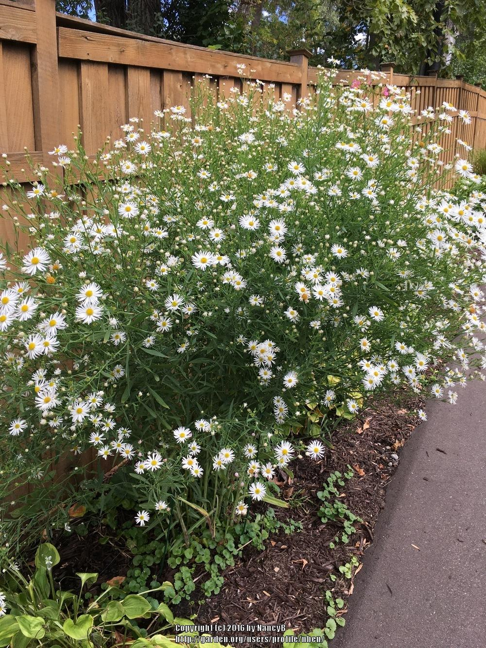 Photo of False Aster (Boltonia asteroides var. latisquama 'Snowbank') uploaded by capenancy