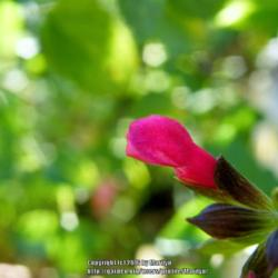 Photo of Sage (Salvia 'Majestic Pink')