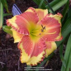 Thumb of 2016-09-28/daylilly99/fd8353