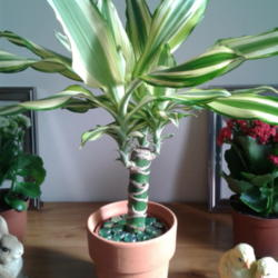 Photo of Corn Plant (Dracaena fragrans)