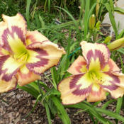 Photo of Daylily (Hemerocallis 'Retro Afternoon')