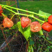 Photo of Chinese Lantern (Physalis alkekengi)