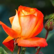 Photo of Rose (Rosa 'France Libre')