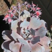 Photo of Echeveria (Echeveria 'Afterglow')