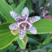 Photo of Hairy Toad Lily (Tricyrtis hirta 'Variegata')