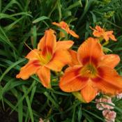 Photo of Daylily (Hemerocallis 'Solar Fire')