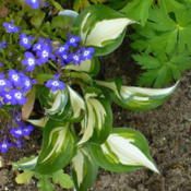 Location: Nora's Garden - Castlegar, B.C.Date: 2016-05-17 3:08 pm. Flirting with the Lobelia. Notice the playful