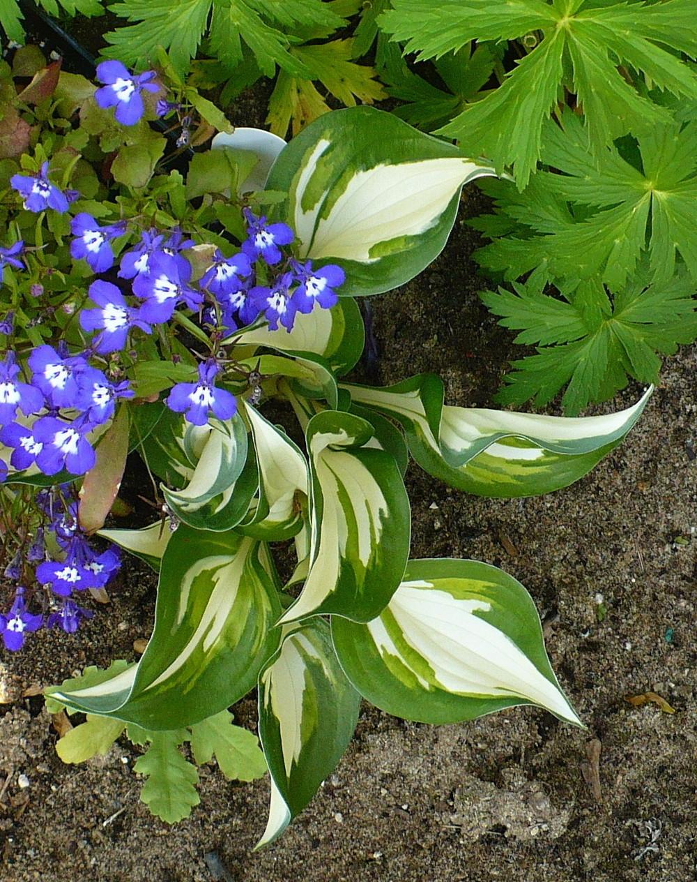 Photo of Hosta 'Fire and Ice' uploaded by HemNorth