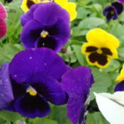 Photo of Pansy (Viola x wittrockiana Delta™ Premium Blotched Mix)
