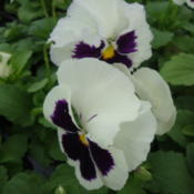 Photo of Pansy (Viola x wittrockiana Delta™ Premium White with Blotch)