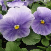 Photo of Pansy (Viola x wittrockiana Delta™ Premium Pure Light Blue)