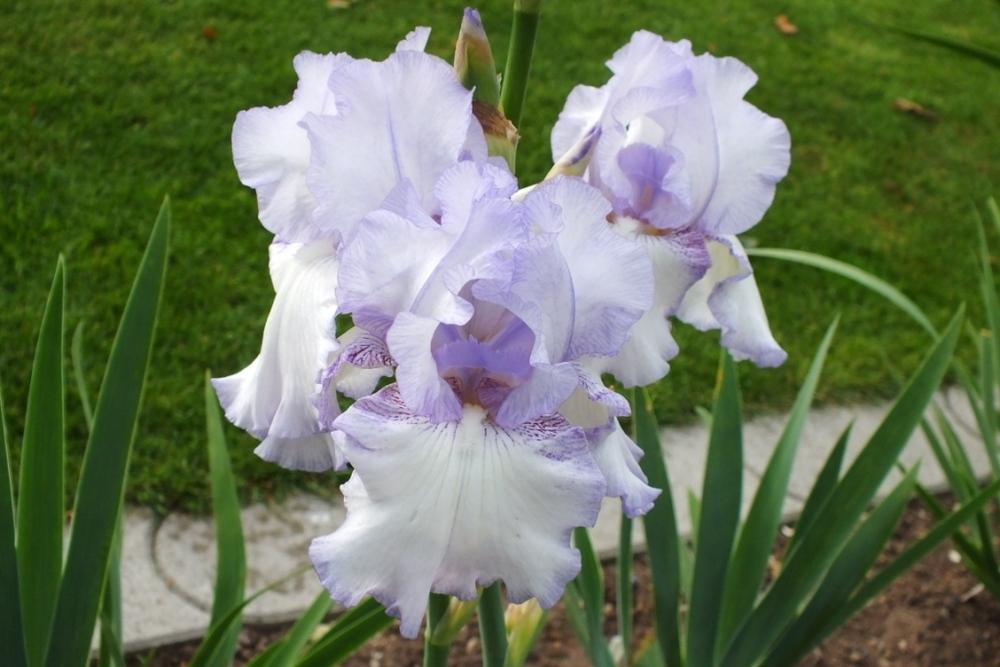 Photo of Tall Bearded Iris (Iris 'Over and Over') uploaded by sunnyvalley