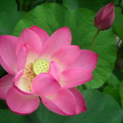 Location: Norfolk, VADate: 2013-07-10Nelumbo nucifera 'Frankly Scarlet'