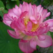 Location: Norfolk, VADate: 2007-07-17Nelumbo nucifera 'Momo Botan'