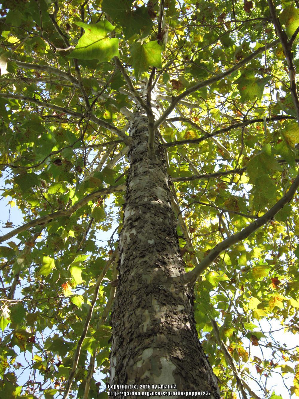 Photo of American Sycamore (Platanus occidentalis) uploaded by pepper23