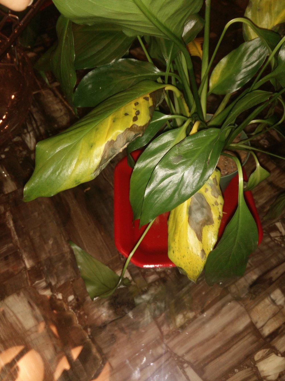 Ask a question forum help 4 peace lily leaves turning yellow with thumb of 2016 10 07bellabellisimadb680f izmirmasajfo