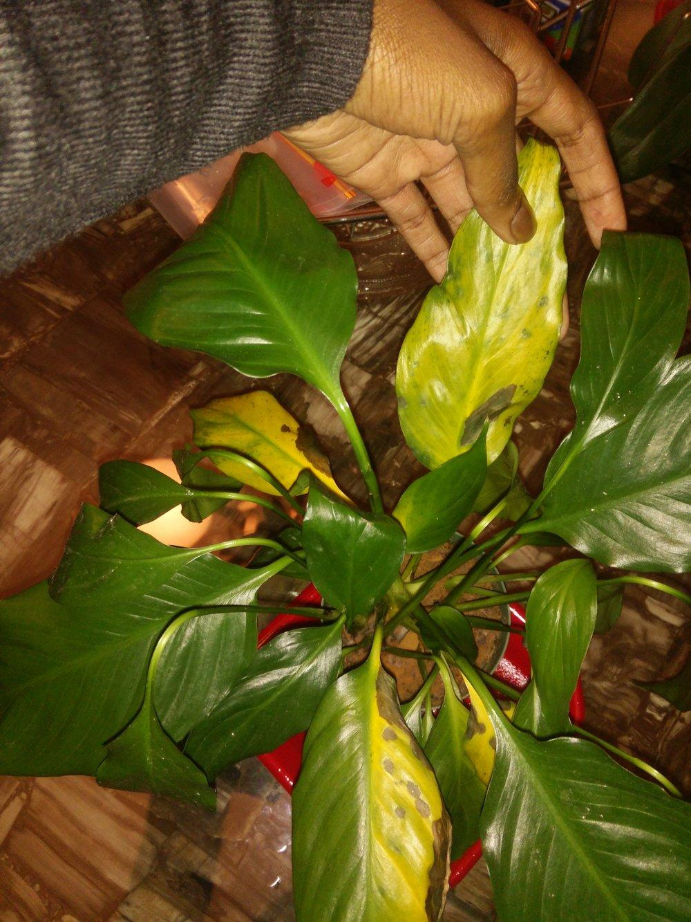 ask a question forum help 4 peace lily leaves turning yellow with black spots. Black Bedroom Furniture Sets. Home Design Ideas