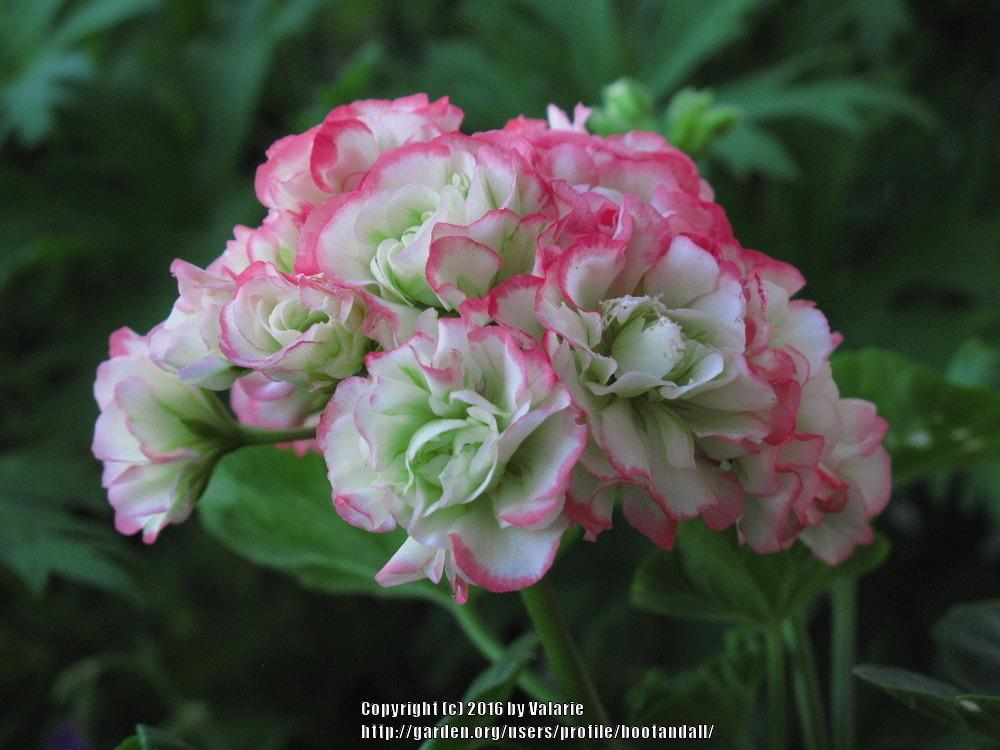 Photo of Zonal Geranium (Pelargonium x hortorum 'Appleblossom Rosebud') uploaded by bootandall