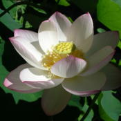 Location: Norfolk, VADate: 2009-07-03Nelumbo nucifera Alba Striata (=Empress )