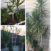 Location: Orange, CADate: 10-08-2016Dracaena Marginata