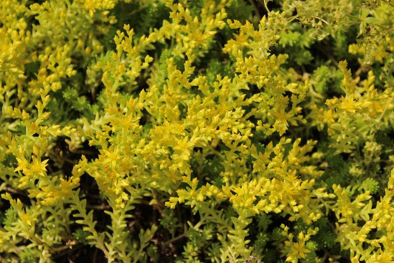 Photo of Tasteless Stonecrop (Sedum sexangulare) uploaded by RuuddeBlock