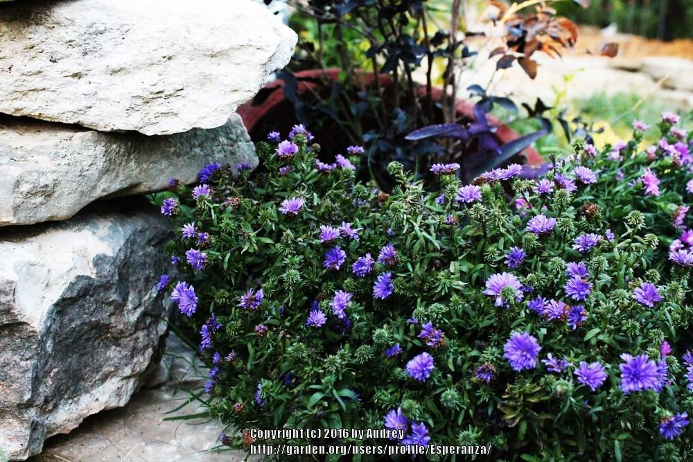 Photo of Aster (Symphyotrichum novi-belgii 'Henry I Purple') uploaded by Esperanza