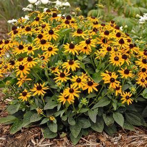 Photo of Black Eyed Susans (Rudbeckia) uploaded by drbeasle