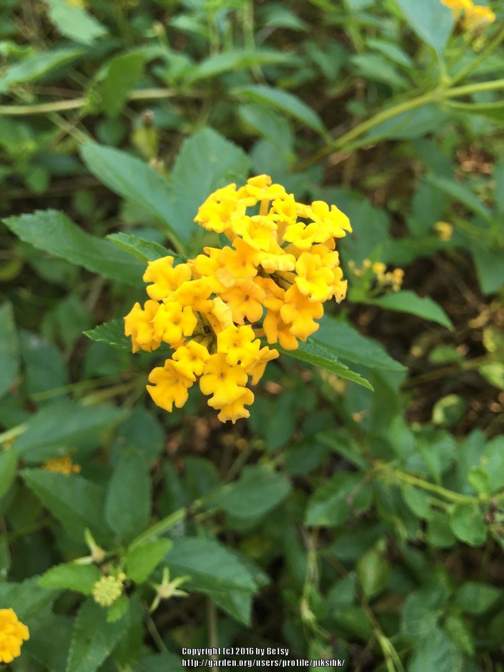 Photo of Lantana uploaded by piksihk