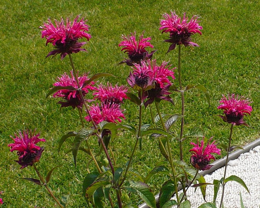 Photo of Bee Balm (Monarda didyma 'Raspberry Wine') uploaded by HemNorth