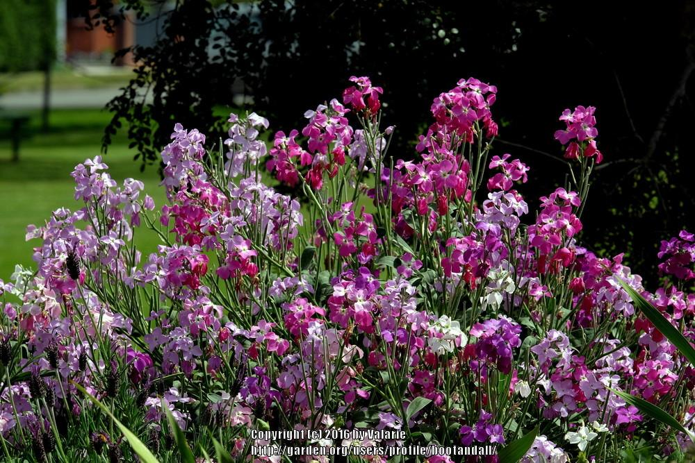 Photo of Stock (Matthiola incana) uploaded by bootandall